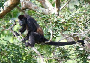 Affen Costa Rica Biodiversität